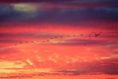 Pájaros que vuelan en la formación en la puesta del sol Imágenes de archivo libres de regalías