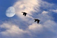 Pájaros que vuelan la luna de la silueta Imagen de archivo
