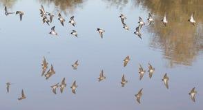 Pájaros que vuelan sobre el agua que echa una reflexión fotografía de archivo libre de regalías