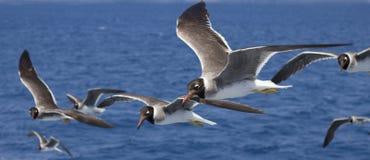 Pájaros que vuelan sobre el mar Imagen de archivo libre de regalías