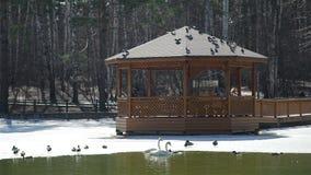 Pájaros que vuelan sobre la charca del parque en primavera temprana metrajes