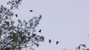 Pájaros que vuelan a través de árboles metrajes