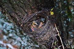 Pájaros recién nacidos Fotos de archivo libres de regalías