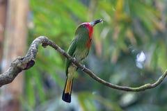 pájaros Rojo-barbudos del amictus de Nyctyornis del Abeja-comedor que comen el insecto Imágenes de archivo libres de regalías