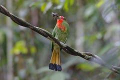 pájaros Rojo-barbudos del amictus de Nyctyornis del Abeja-comedor de Tailandia Imagenes de archivo
