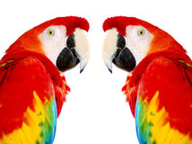 Pájaros rojos de oro del loro del Macaw fotos de archivo libres de regalías