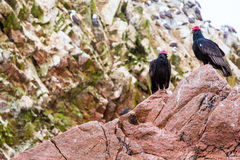 Pájaros rojos del cuello del buitre en Ballestas Islands.Peru.South América. Parque nacional Paracas. Foto de archivo