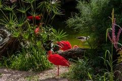 Pájaros rojos en Itatiba Imagen de archivo libre de regalías