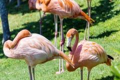 Pájaros rosados del flamenco Fotografía de archivo libre de regalías
