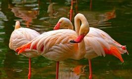 Pájaros rosados del flamenco Foto de archivo libre de regalías