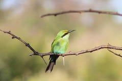 Pájaros salvajes africanos - verdes del Abeja-comedor Imagen de archivo libre de regalías