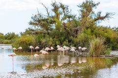 Pájaros salvajes del flamenco en el lago en Francia, Camargue, Provence Imagen de archivo libre de regalías