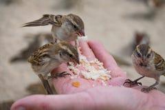 Pájaros salvajes del gorrión que alimentan desde la mano abierta fotografía de archivo
