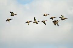 Pájaros salvajes que vuelan Imagen de archivo