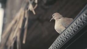 Pájaros urbanos Una ciudad blanca grande del pájaro ocultada debajo del toldo almacen de metraje de vídeo