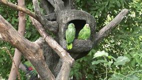 Pájaros verdes de Loras del loro en el agua de las islas de las Islas Galápagos metrajes