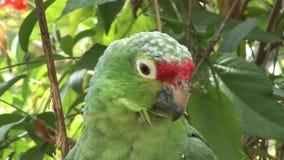 Pájaros verdes de Loras del loro en el agua de las islas de las Islas Galápagos almacen de metraje de vídeo