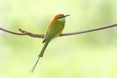 Pájaros verdes de los orientalis del Merops del Abeja-comedor de Tailandia Fotografía de archivo