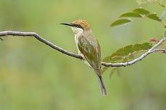 Pájaros verdes de los orientalis del Merops del Abeja-comedor de Tailandia Fotos de archivo
