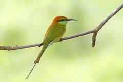 Pájaros verdes de los orientalis del Merops del Abeja-comedor de Tailandia Imágenes de archivo libres de regalías