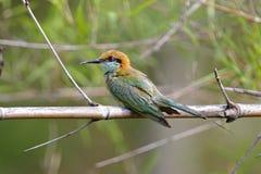 Pájaros verdes de los orientalis del Merops del Abeja-comedor de Tailandia Fotografía de archivo libre de regalías