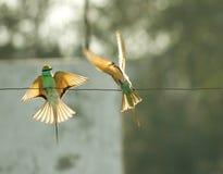 Pájaros verdes del comedor de abeja en Nueva Deli, la India Fotos de archivo