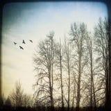 Pájaros y abedules Fotografía de archivo