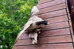 Pájaros y animales en fauna Faisán relleno utky y hogar del ukrashayut de Stan Nadada del pájaro del pato en agua Pájaro del pato Imagen de archivo