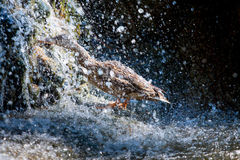 Pájaros y animales en fauna Pato que toma una ducha Fotos de archivo libres de regalías