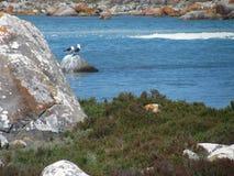 Pájaros y rocas de mar Foto de archivo