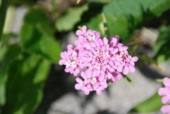 Pálido - flor rosada del candytuft en jardín de piedras imagenes de archivo