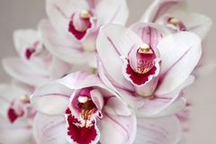 Pálido - flores cor-de-rosa da orquídea do cymbidium imagem de stock royalty free