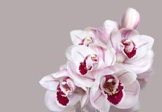 Pálido - flores cor-de-rosa da orquídea do cymbidium foto de stock