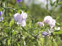 Pálido - flores cor-de-rosa do odoratus do Lathyrus da ervilha doce que cresce em um jardim imagem de stock