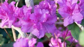 Pálido - flores rosadas de la azalea en el invernadero metrajes