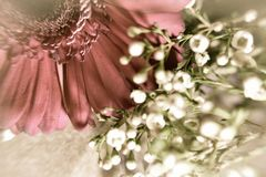 Pálido - margarida cor-de-rosa do Gerbera foto de stock royalty free