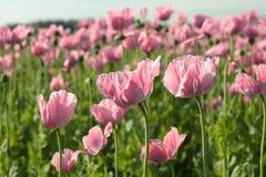 Pálido - pique las flores coloreadas de la amapola para arriba cerca Imagen de archivo libre de regalías