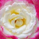 Pálido - primer color de rosa del rosa y blanco de la flor foto de archivo libre de regalías