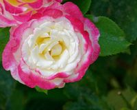 Pálido - primer color de rosa del rosa y blanco de la flor fotografía de archivo libre de regalías