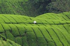 Pára-sol branco no campo do chá verde Imagem de Stock