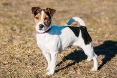 Párroco joven Russell Terrier Dog Outdoor Fotos de archivo