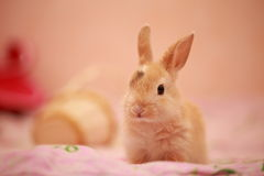 Páscoa, coelho, coelho Foto de Stock Royalty Free