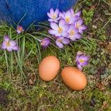 Páscoa, dois ovos naturais na terra com açafrão Fotografia de Stock Royalty Free