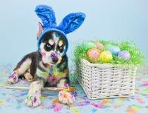 Páscoa Husky Puppy fotografia de stock royalty free