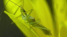 Pásmido verde en la flor metrajes