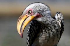 Pássaro à terra do Hornbill Fotografia de Stock