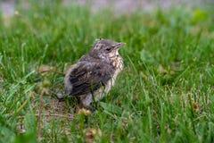 Pássaro abandonado na grama verde que procura a mãe em Helsínquia foto de stock royalty free