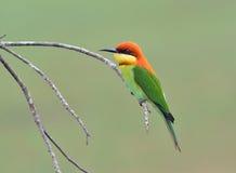 Pássaro (Abelha-comedores Castanha-dirigidos), Tailândia Fotos de Stock