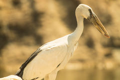 Pássaro aberto da cegonha da conta do asiático Fotos de Stock