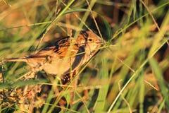 Pássaro adiantado Fotos de Stock
